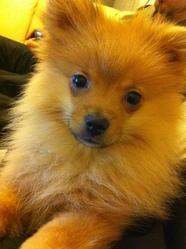 Ruby, chien Spitz allemand