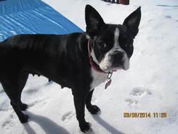 Ruby, chien Terrier de Boston