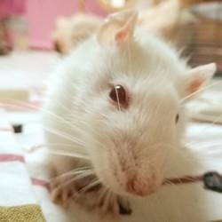Ruby, rongeur Rat