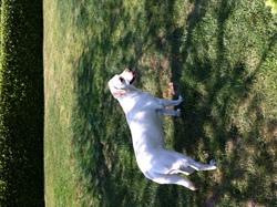 Ruby, chien Labrador Retriever