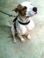 Ruby, chien American Staffordshire Terrier