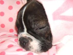 Ruby, chien Bouledogue français