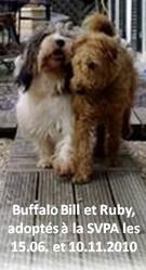 Ruby, chien Irish Terrier