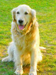 Ruby, chien Golden Retriever