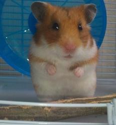 Ruby , rongeur Hamster