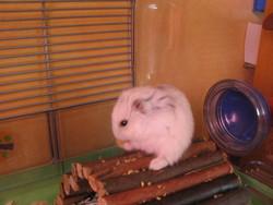 Ruby, rongeur Hamster