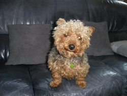 Ruby, chien Yorkshire Terrier