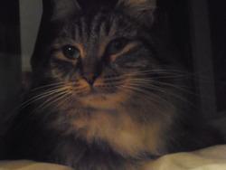 Ruby, chat Européen