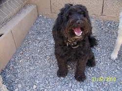 Ruby, chien Caniche