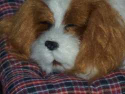 Ruby-Peppy, chien Cavalier King Charles Spaniel