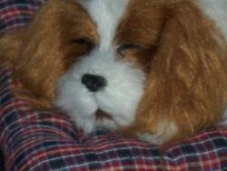Ruby-Peppy, chien Cavalier King Charles Spaniel
