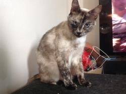 Ruchiane, chat Siamois