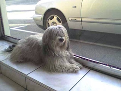 Ruddy, chien Bichon havanais