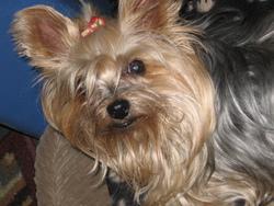 Ruddy, chien Yorkshire Terrier