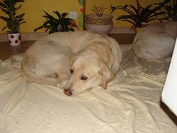 Rudi, chien Labrador Retriever