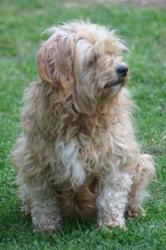 Rudy, chien Lhassa Apso