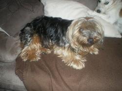 Rudy, chien Yorkshire Terrier