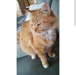 Rudy, chat Sibérien