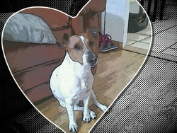 Ruffy, chien Jack Russell Terrier