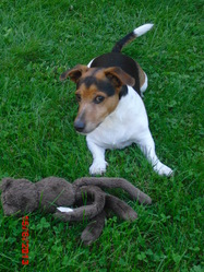 Rufus , chien Jack Russell Terrier