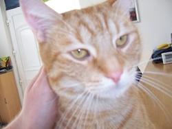 Rufus, chat Européen
