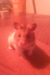 Rufuss, rongeur