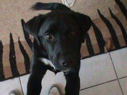 Rukia, chien Labrador Retriever