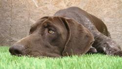 Rully, chien Braque allemand à poil court