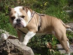 Rumba, chien