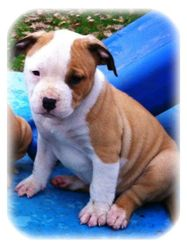 Rush, chien American Staffordshire Terrier