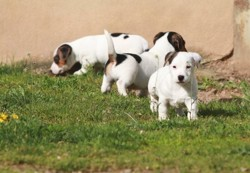 Ruski, chiot Jack Russell Terrier