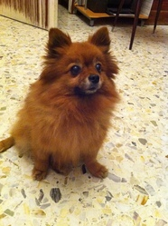 Rustine, chien Spitz de Norbotten