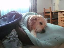 Rustine, chien Golden Retriever