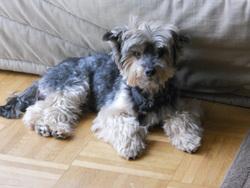 Rusty, chien Yorkshire Terrier