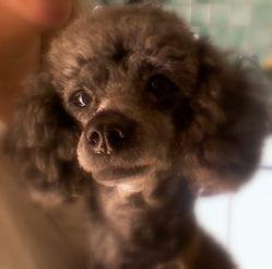 Rusty, chien Caniche