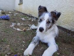 Ruyk, chien Border Collie