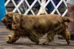 Rylee, chien Sussex Spaniel