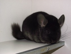 Ryu Jin, rongeur Chinchilla