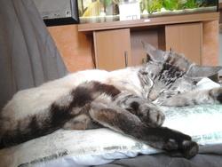 Ryuk, chat Européen