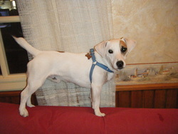 Saba, chien Jack Russell Terrier
