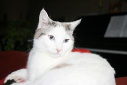 Sabayon, chat Siamois