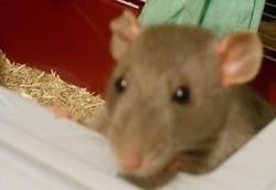 Sacha, rongeur Rat