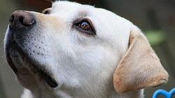 Sacha, chien Labrador Retriever