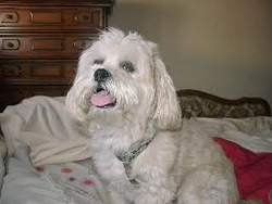 Sacha, chien Lhassa Apso