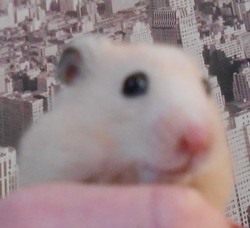 Sacha, rongeur Hamster