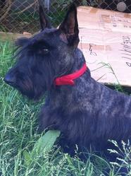 Sacha, chien Scottish Terrier