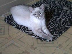 Sacha, chat Siamois