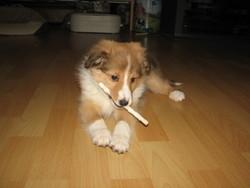 Sacha, chien Berger des Shetland