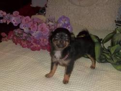 Sacha, chien Chihuahua