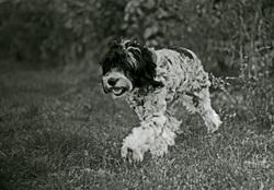 Sacha, chien